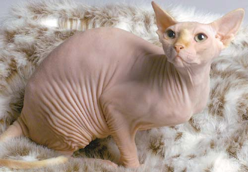 The official mascot of the Bald Kitty Movement